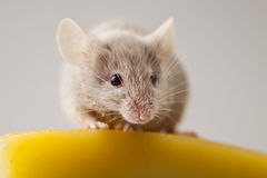 Rat Image stock
