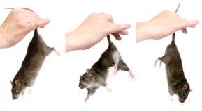 Rat royalty-vrije stock fotografie