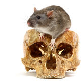 Rat. The big grey rat in a human skull Stock Photography
