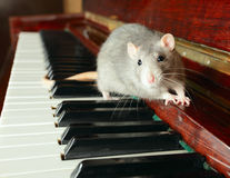 Rat. Cute rat on keys of a piano Royalty Free Stock Photos