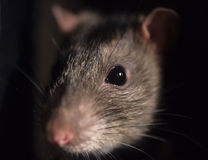 Rat. The rat is known worldwide, and is probably the most succesfull mammal alive today Stock Photography
