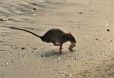 Free Rat Royalty Free Stock Photo - 14398975