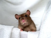 Rat 15. A nice looking little rat Royalty Free Stock Photo