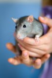 Rat. Woman's hands, holding a rat Royalty Free Stock Images