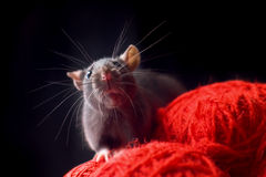 Rat. With long whiskers sit on red yarn Stock Image
