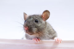 Rat Royalty Free Stock Images