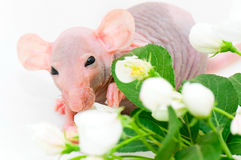 Rat. The hairless rat and flowers Stock Images