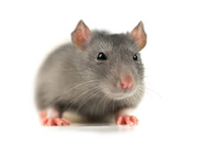 Rat. Grey rat isolated on white Royalty Free Stock Photos