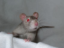Rat 22. A nice looking little rat Stock Photography