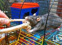 Rat. The rat gnaws a bone Royalty Free Stock Photo