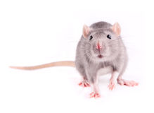 Rat. Grey rat isolated on white background Royalty Free Stock Photography
