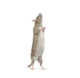 Rat Royalty Free Stock Photos
