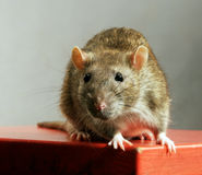 Rat. Wild rat on red table Royalty Free Stock Image