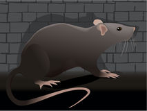 Rat. Wild rat living in the city Royalty Free Stock Photo