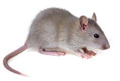 Free Rat Royalty Free Stock Photography - 30500007