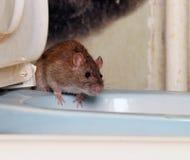 Rat Royalty-vrije Stock Foto's