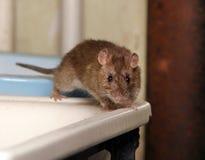 Rat Photos stock