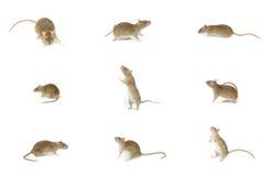 Free Rat Stock Image - 32557811