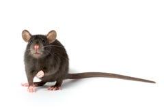Rat Photographie stock libre de droits