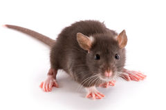 Rat Royalty Free Stock Image