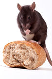 Rat Photographie stock