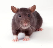 Rat Stock Photography