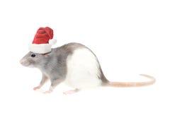 Rat Stock Foto