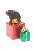 Rat. A photo of a rat and gift boxes, isolated Royalty Free Stock Photography