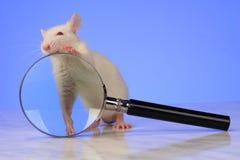 Rat Stock Photography