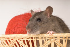 Rat. With New Year's balls on a grey background Royalty Free Stock Photos