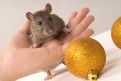 Rat. With New Year's balls on a grey background Stock Photos