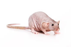 Rat. Bald rat on white background Stock Photography