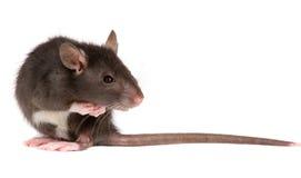 Rat Royalty-vrije Stock Afbeelding