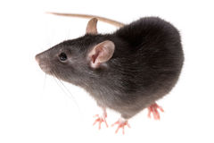 Rat. Funny rat close-up isolated on white background Royalty Free Stock Image