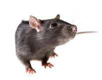 Rat. Funny rat close-up isolated on white background Stock Images