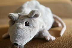 RAT. Big fat grey houngry rat royalty free stock photography