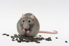 Rat. Home rat which is pips Royalty Free Stock Photos