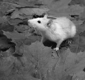 rat Stock Afbeeldingen