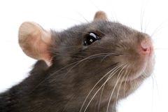Rat Stock Afbeelding