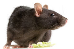 Rat Royalty Free Stock Photo