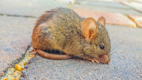 Free Rat Stock Photography - 49972132