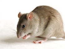 Rat. On the white background Royalty Free Stock Photo