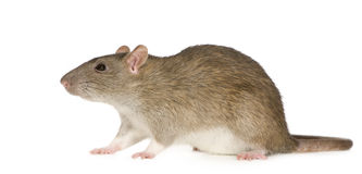 Rat (6 months) Royalty Free Stock Photography