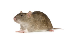 Rat (6 months) Stock Image