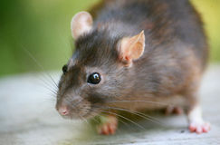 Cute brown rat grey-green natural background Royalty Free Stock Images