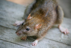 Rat. Larger touching rat muzzles against the backdrop of gray wood Stock Image