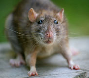 Rat. Portrait of a Brown Rat. The rat is known worldwide, and is probably the most succesfull mammal alive today. mouse. Larger touching rat muzzles against the Stock Image