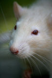 Rat. Larger touching rat muzzles against the backdrop of gray wood Royalty Free Stock Images