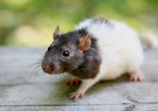 Rat. Larger touching rat muzzles against the backdrop of gray wood Royalty Free Stock Photography