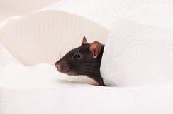 Rat Stock Photo